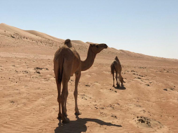 trockengebiete-kamel