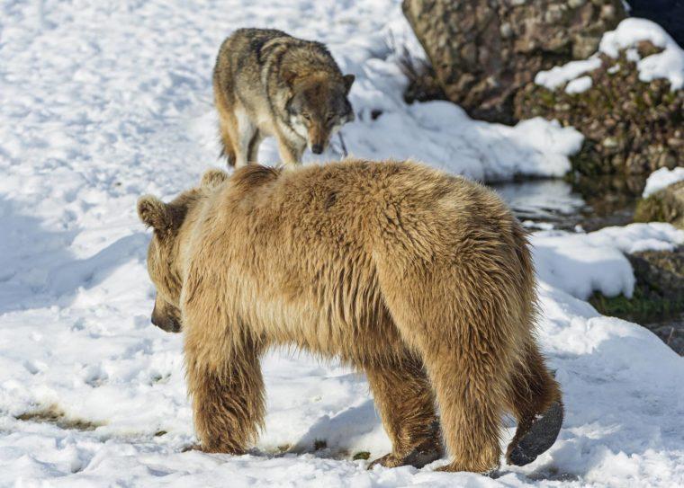 winterfeuchte-subtropen-baer-wolf