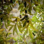 Vegetation im Mittelmeerraum  - Anpassung an Sommerdürre
