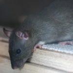 Wie Gentrifizierung und Klimawandel die Rattenplage in New York begünstigen