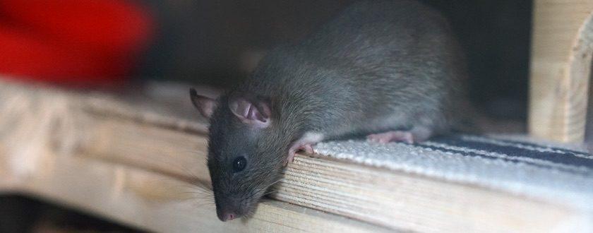 rat-new-york-teaser